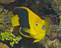 Rock Beauty (Holacanthus tricolor), a type of Caribbean a... by Jim Chambers 
